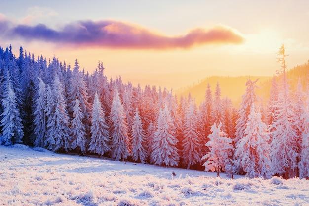 마법의 겨울 눈 덮힌 나무. carpathians에서 일몰입니다.
