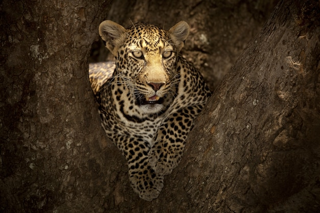 Великолепный африканский леопард, лежащий на ветке дерева в африканских джунглях
