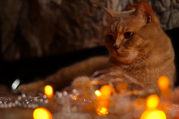 Magnificent brown british cat, closeup. pure breed british cat on the sofa.