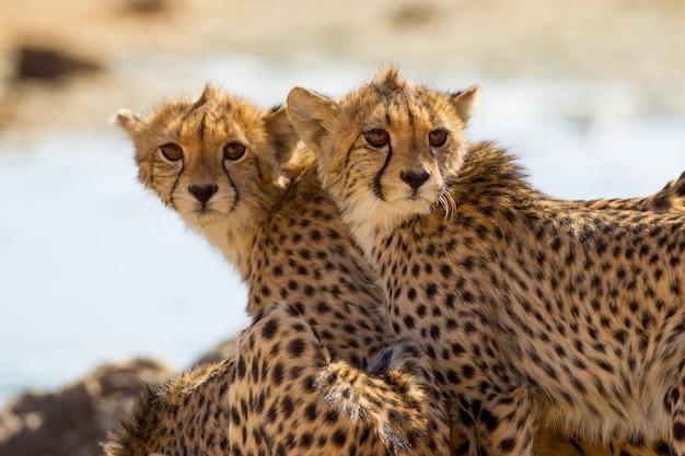 Великолепные гепарды стоят возле маленького пруда