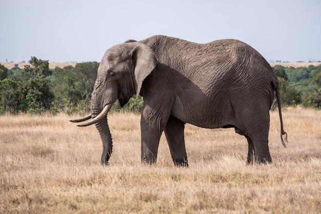 ケニアのオルペジェタのジャングルの真ん中にある野原にいる壮大な象