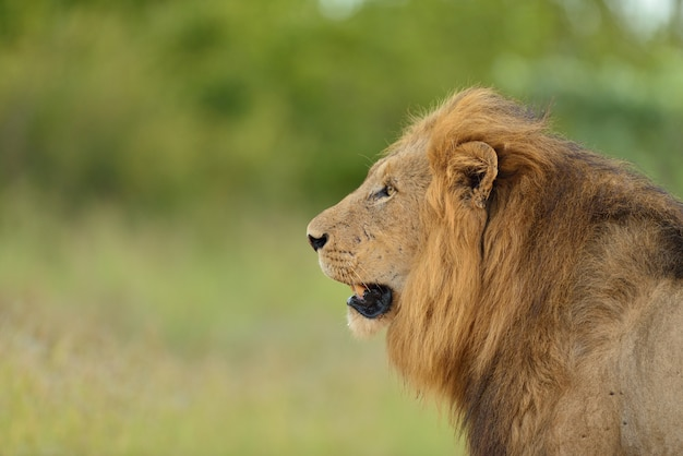 Magnificent lion in the middle of a field covered with green grass