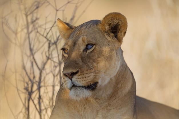 木の近くの雄大な雌ライオン
