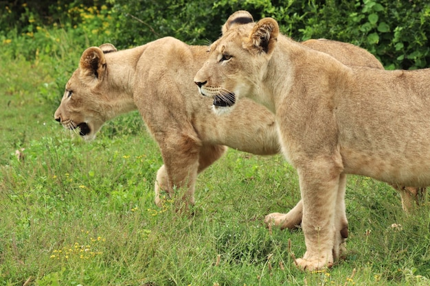 Великолепные львицы гуляют по заросшим травой полям возле кустов