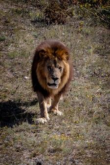 Великолепный самец льва, стоящий и смотрящий в камеру. парк тайган