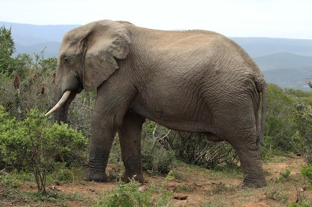 Великолепный грязный слон гуляет возле кустов и растений в джунглях