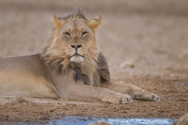 Великолепный могучий лев посреди пустыни
