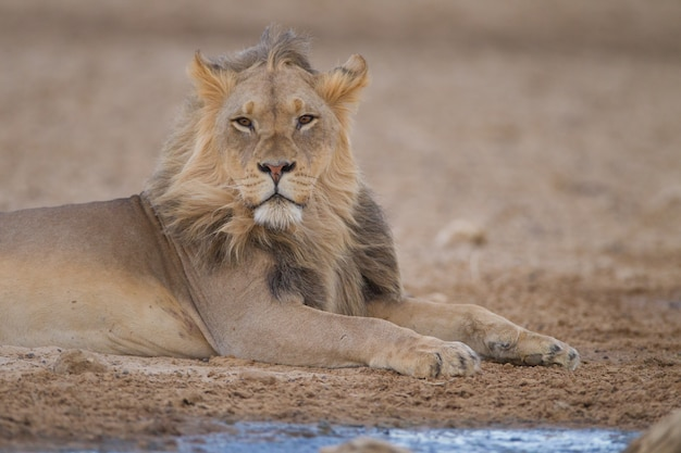 Magnificent powerful lion in the middle of the desert