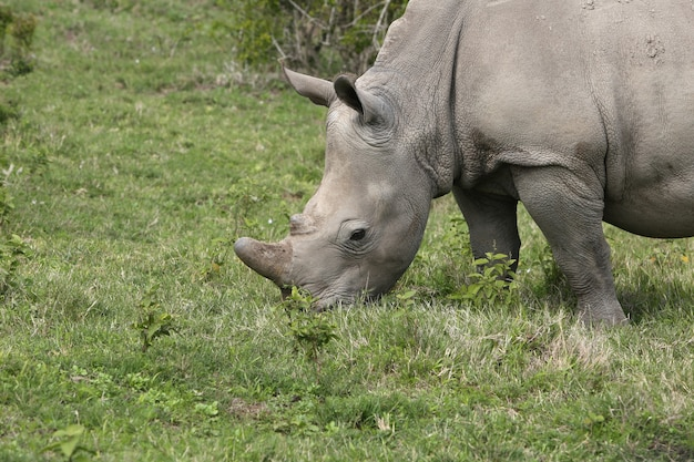 Magnifico rinoceronte al pascolo in un campo coperto di erba