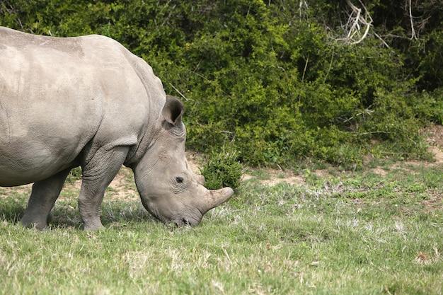 Magnifico rinoceronte al pascolo sui campi coperti di erba vicino ai cespugli