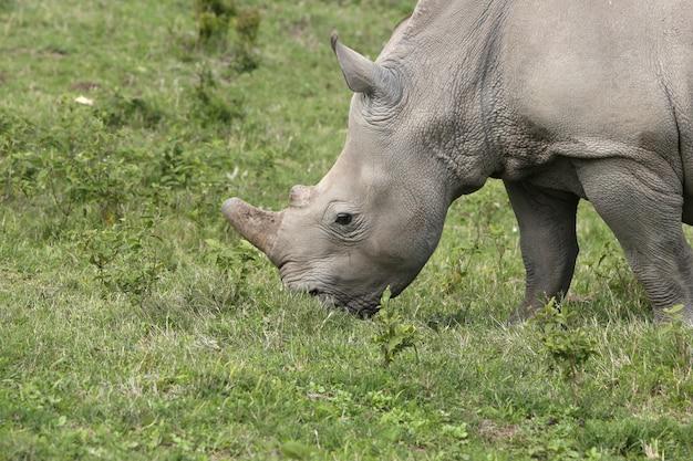 Великолепный носорог, пасущийся на покрытых травой полях в лесу