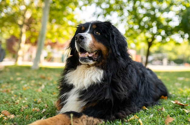 Magnificent specimen of bernese mountain dog