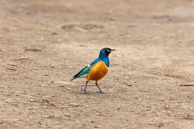 Magnificent starlings can be seen both in the wild wild and near dwelling of manwidespread