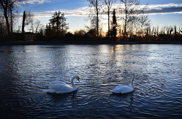 日没時の川の壮大な白鳥