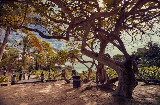 壮大な木は、夕日を覆うその厚い影響を示しています。メキシコのマヤのリビエラの海岸、正確にはトゥルムの自然の風景。