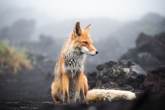 A magnificent wild red fox (vulpes vulpes) hunting for food to eat