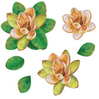 잎과 고립 된 흰 꽃 목련 지점입니다. 손으로 그린 수채화 그림.
