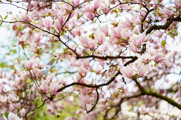 Magnolia branches with pink flowers and young leaves.