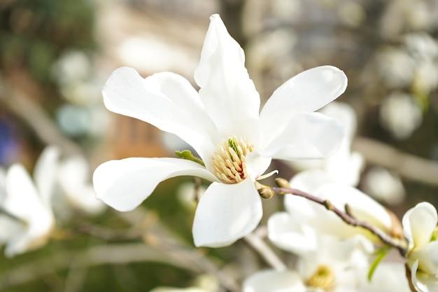 목련 크림 꽃 피는 나무, 자연 꽃 표면에.