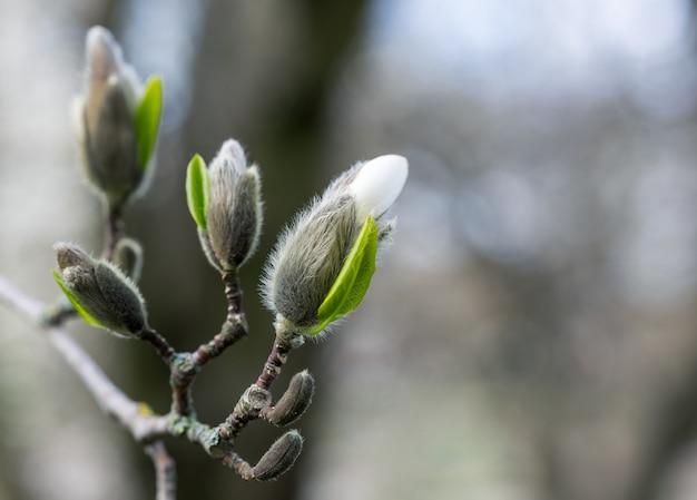 봄철의 목련 꽃봉오리, 선택적 초점, 매크로