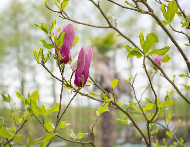 Magnolia flowers buds against a blured natural