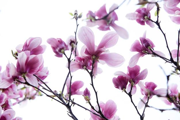나무에 목련 꽃