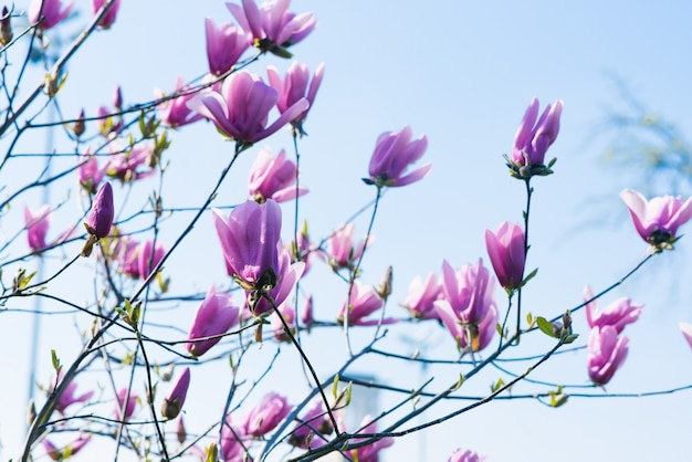 Magnolia is a blooming spring tree with beautiful delicate lilac flowers