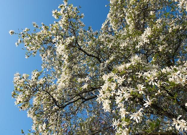 목련 kobus. 흰 꽃과 피 나무