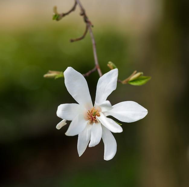 매그놀리아 코부스. 흰 꽃이 피는 나무