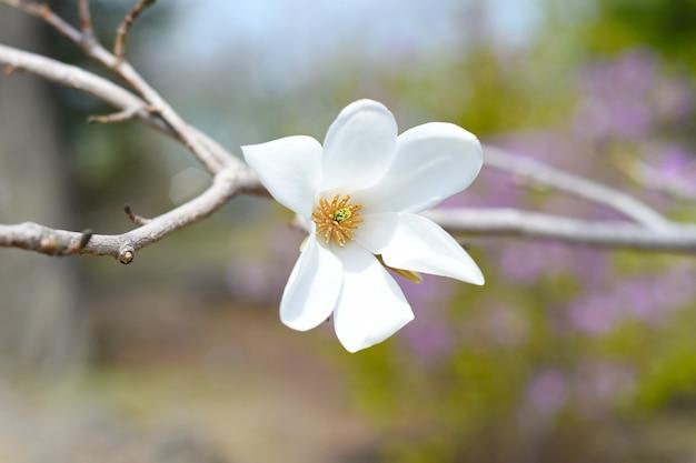 봄에 러시아 극동 지역에 꽃을 피우는 목련 코 부스 목련