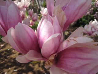 Magnolia, magnoliaflowers