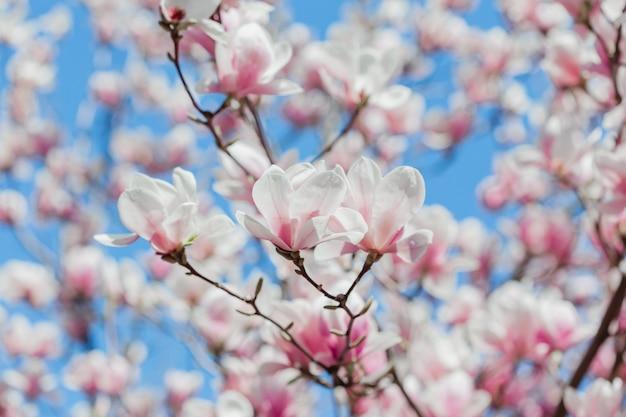 Цветки дерева цветения магнолии розовые, конец вверх по ветви, внешней.
