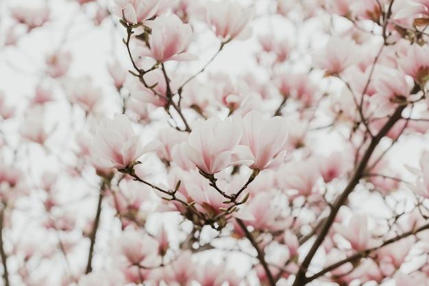 Магнолия розовое цветущее дерево цветы, крупный план филиал