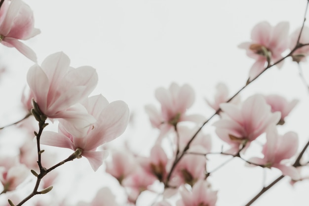 Magnolia pink blossom tree flowers, close up branch