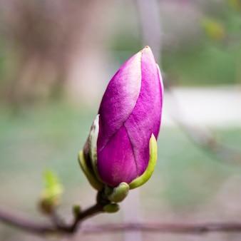 목련 핑크 꽃 나무 꽃, 분기를 닫습니다
