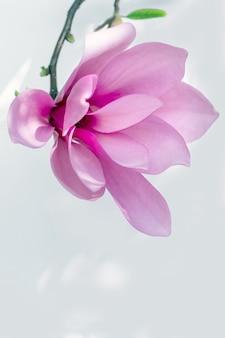Магнолия розовый цветок белый фон цветение фиолетовый сирень фиолетовый