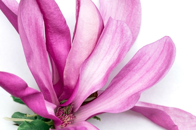 Magnolia pink flower white background bloom purple lilac violet