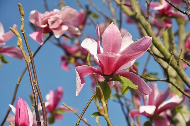 Цветок магнолии. магнолия сьюзан, розовые цветы. весеннее цветение на фоне голубого неба.
