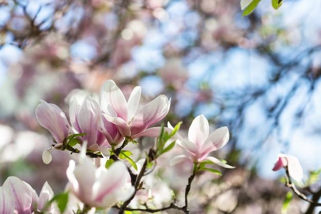흐리게에 목련 나무 가지 꽃