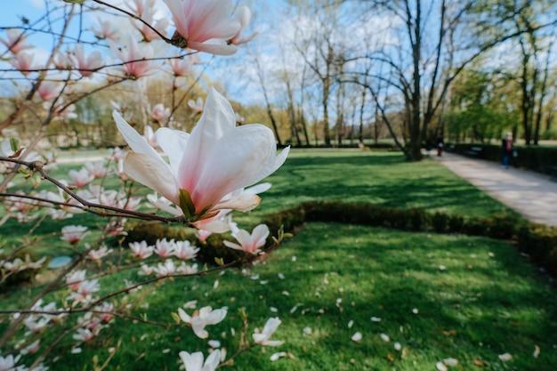 Magnolia tree in park