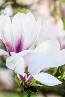 Magnolia tree with blooming flowers during springtime in englis
