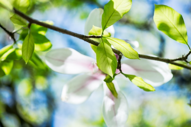 Magnolia tree with blooming flowers