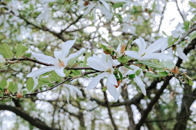 Magnolia tree with white flowers in springtime