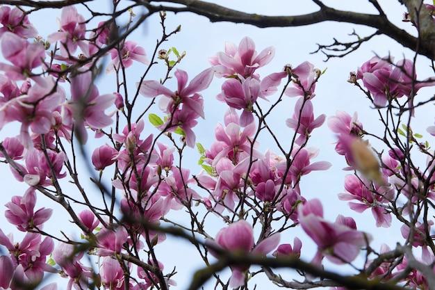 아름다운 꽃이 가득한 목련 나무
