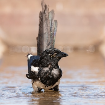 A magpie pica pica splashing in the water.