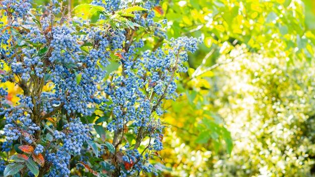 Mahonia aquifolium oregon-виноград или виноград орегон созревают на ветвях. растение в семействе berberidaceae. синие ягоды на кусте
