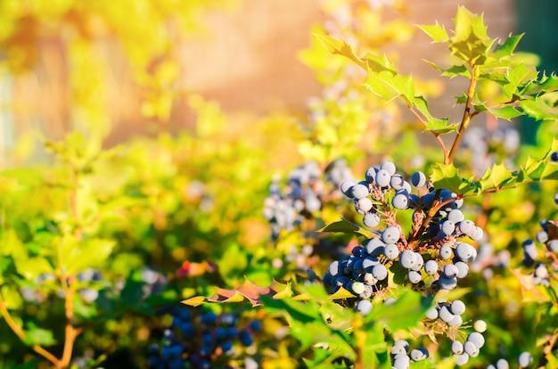 青い果実mahonia aquifolium(オレゴン - ブドウまたはオレゴンブドウ)およびブッシュ