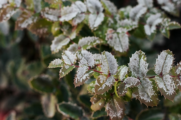 Mahonia leaves covered with hoarfrost