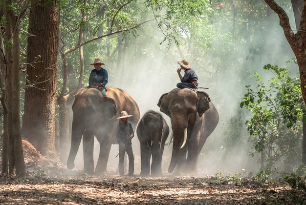Mahout with elephants in elephants village thailand