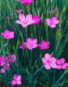 Девичья розовая - dianthus deltoides пурпурно-розовые цветы, крупным планом